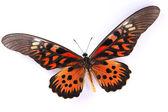Красные и коричневые бабочки, изолированные на белом фоне — Стоковое фото
