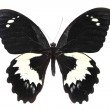 Foto Stock: Black and white butterfly
