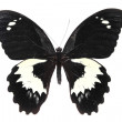 Black and white butterfly — Zdjęcie stockowe #7840206