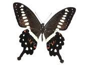 Marrón y blanco de mariposa negra — Foto de Stock