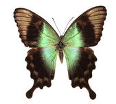 Hnědý a zelený motýlek — Stock fotografie