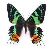 Siyah ve yeşil kelebek — Stok fotoğraf