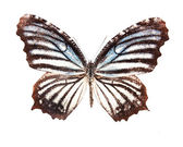 Brown and white stripes butterfly — Stock Photo