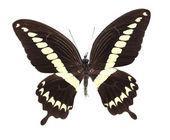 Kahverengi ve sarı kelebek — Stok fotoğraf