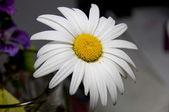 Daisy close view — Stock Photo