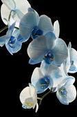 Blue Orchid — Stock Photo