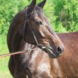 Stock Photo: Beautiful breed mare in summer field