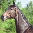Beautiful breed mare in summer field - Foto Stock
