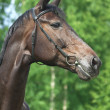 Portrait of beautiful mare - Foto de Stock