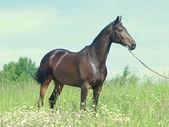 フィールドでのロシアの品種の美しい馬 — ストック写真
