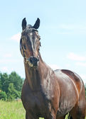 Beautiful breed mare in summer field — Stock Photo