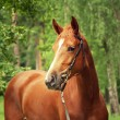Stock Photo: Beautiful chestnut trakehner mare