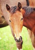 Portait of little foal — Stock Photo