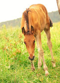 Pretty little red foal in meadow — Stock Photo