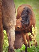 Jedzenie matka mało źrebię — Zdjęcie stockowe