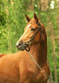Portrait of beautiful chestnut trakehner mare — Stock Photo