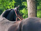 Curves of amazing black stallion — Stock Photo