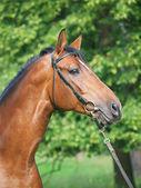 Portrait of beautiful breed trakehner stallion — Stock Photo