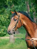 Portrait of beautiful bay trakehner stallion — Stock Photo
