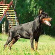 Standing amazing purebred black doberman - Stock Photo