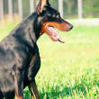 Portrait of sitting  amazing black doberman - Stock Photo