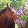 Portrait of pretty horse near lilac flower — Foto de Stock