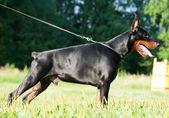 Standing wonderful purebred black doberman — Stock Photo