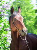 Portrait of pretty bay horse near lilac flower — Stock Photo