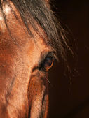 Beautiful eye of bay horse closeup in dark — Stock Photo