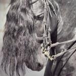 Portrait of dressage frisian horse closeup — Stock Photo #7382758