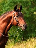 Portrait of amazing bay horse at evening sun — Stock Photo