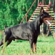 Standing purebred doberman — Stock Photo #7494958