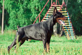 Standing purebred doberman — Stock Photo