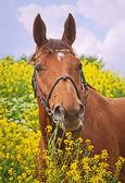 Portrait of beautiful chestnut horse — Stock Photo