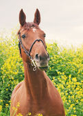 Portrait of beautiful red horse around yellow flowers — Stock Photo