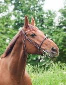 Güzel kırmızı at portresi — Stok fotoğraf