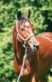 Portrait of beautiful bay sportive horse — Stock Photo