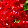 Blossom Mediterranean red shrub closeup — Stock Photo