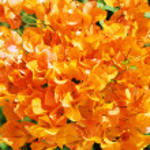 Orange Mediterranean blossom, Cyprus — Stock Photo