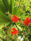 Tropical plants with red blossom — Stock Photo