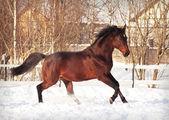 Running bay horse in snow paddock — Stock Photo