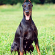 Portrait of amazing doberman — Stock Photo