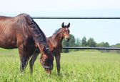 Little foal with mother in paddock — Stock Photo
