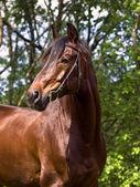 Portrait von der schönen bucht-pferd — Stockfoto