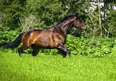 Running bay horse at green meadow — Stock Photo