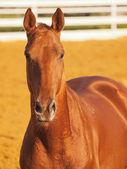 Porträtt av röd häst i sportig paddock — Stockfoto
