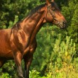 Beautiful bay gloss horse in the verdure — Stock Photo #7681624