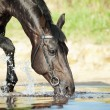 Stock Photo: Portrait of black beauty drinking horse in lake