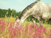 Grazing grey horse in green blossom field — Stock Photo