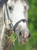 Camamille closeup ile gri at portresi — Stok fotoğraf